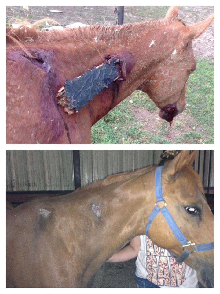 This horse is doing better now. I can't help but be amazed that she lived!